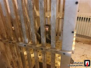 عکس/ به دام انداختن میمون متواری در تهران