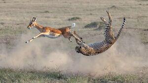 تصویر بی نظیر از شکار ناموفق یوزپلنگ