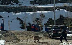 حمله گرگ به نگهبان