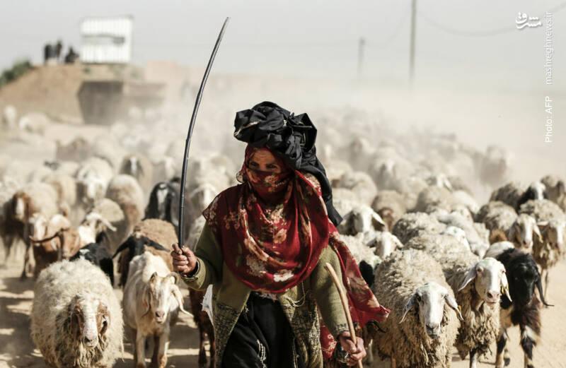 چوپانی یک زن فلسطینی در نزدیک مرزهای فلسطین اشغالی