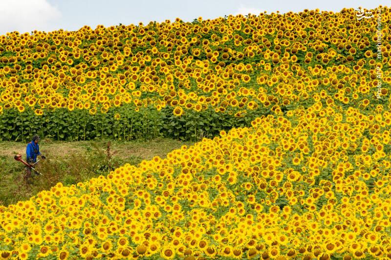 کار در مزرعه آفتابگردان در جنوب آلمان