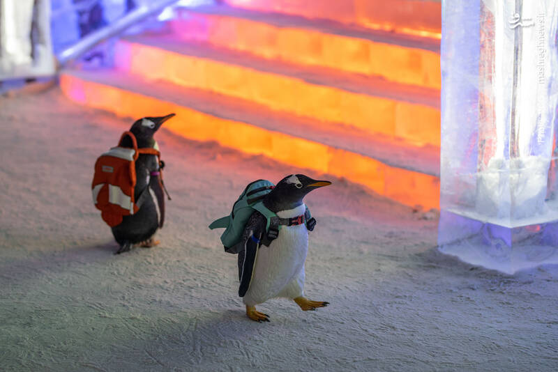 بازدید دو پنگوئن از جشنواره یخ و برف در هاربین چین