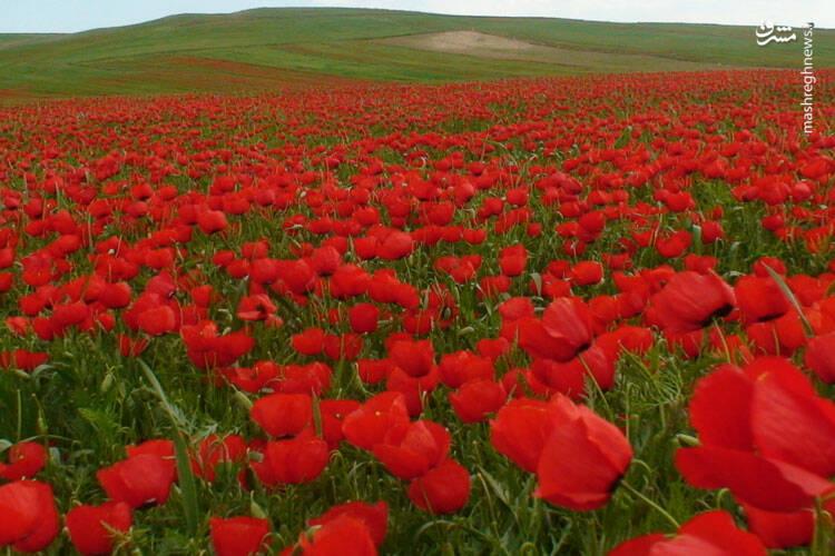 """همه ساله در همین خصوص جشنواره دشت شقایق و کشتی محلی در منطقه کالپوش برپا می شود.گل های آفتابگردان نیز که بیشتر در دشت """"دانیال""""  تا ارتفاعات روستای""""کُرنگ"""" می روید، در ماه های مرداد و شهریور به گل نشسته و زیبایی این منطقه را دوچندان می کند."""