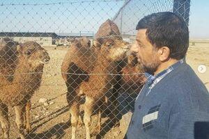 پست ضرغامی درباره قیمت شتر!