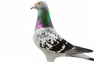 رکورد گرانترین کبوتر جهان شکسته شد