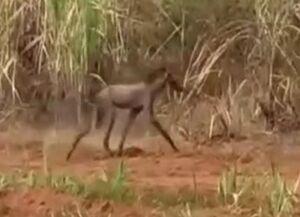 ماجرای حیوان عجیبی که در شوش دیده شد +فیلم