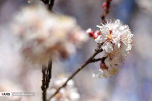 عکس/ شکوفههای بهاری در بجنورد