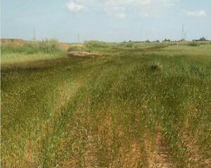 حمله نفت به مزارع گندم +عکس