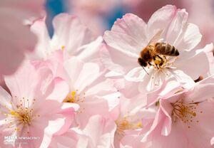 عکس/ شکوفههای بهاری در نقاط مختلف جهان