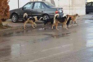 سگهای ولگرد جان کودک 3ساله را گرفتند