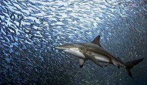 عکس/ دریایی از ماهیهای ساردین