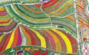 عکس/ جشنواره گل لاله در چین