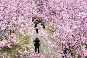 فصل شکوفه های گیلاس در ژاپن