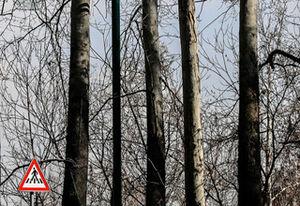 چرا احوال درختان خیابان ولیعصر ناخوش است؟