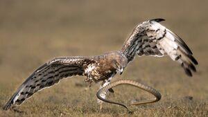 عکس/ مبارزه دیدنی عقاب و مار