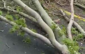فیلم/ سقوط درخت عظیمالجثه ۱۰۰ ساله در خیابان ولیعصر تهران