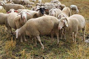 افزایش تعداد گوسفندهای کشور +جدول