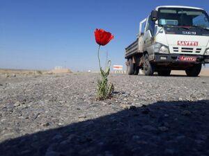 عکس/ رویش گل شقایق وسط جاده!
