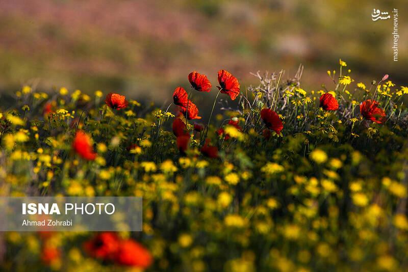 عکس/ ایران زیباست؛ دشت شقایق وحشی - 5