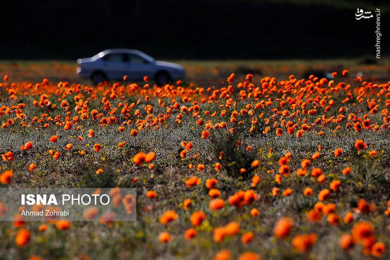 عکس/ ایران زیباست؛ دشت شقایق وحشی - 10