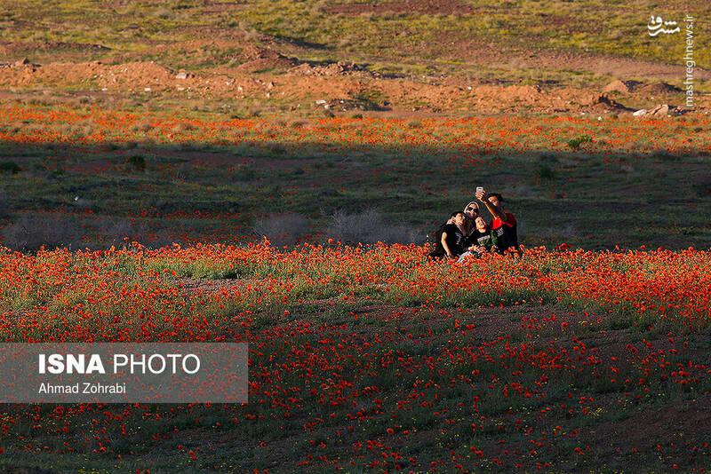 عکس/ ایران زیباست؛ دشت شقایق وحشی - 4