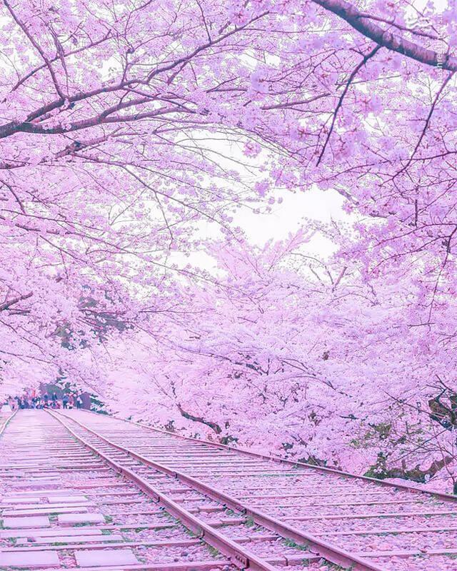 Mùa sakura Nhật Bản qua ống kính của một nhiếp ảnh gia.4