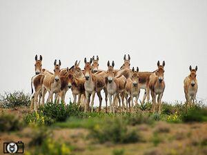 از گورخرهای پارک ملی کویر چه خبر؟