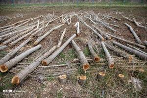 چگونه درخت ورقه ورقه میشود؟