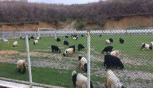 عکس/ چریدن گوسفندان در زمین فوتبال!