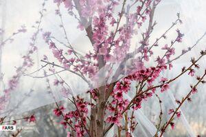 عکس/ مقابله با سرمازدگی درختان در باغات ارومیه