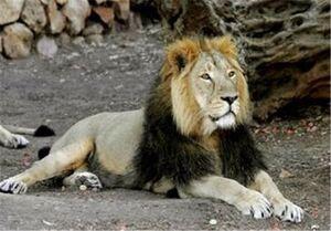 فیلم/ لحظه حمله شیر به مدیر دهکده طبیعت قزوین!