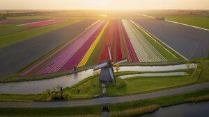 عکس/ مزارع زیبای گل در هلند