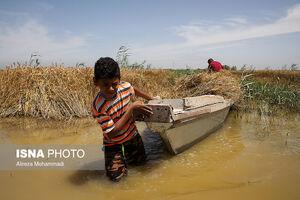 عکس/ برداشت گندم از مزارع سیل زده شادگان