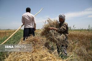 فیلم/ آغاز برداشت گندم از زمینهای سیلزده خوزستان
