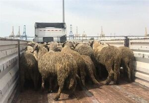 ماجرای گوسفندهای دُمدار چه بود؟