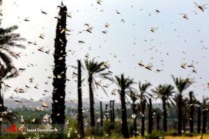 عکس/ ملخها همچنان در مزارع هرمزگان