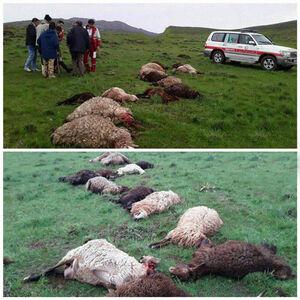 عکس/ صاعقه جان گوسفندان را گرفت
