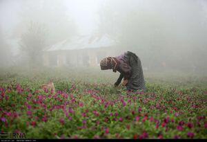 عکس/ مزرعه زیبای گل گاوزبان