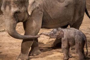 فیلم/ نجات بچه فیل گرفتار در چاله!