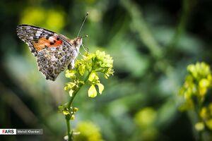 عکس/ پروانهها در «ورامین»