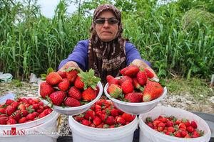 عکس/ برداشت توت فرنگی در مازندران