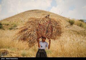 عکس/ برداشت گندم به روش سنتی در ایذه