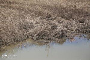 عکس/ خسارات سیل به گندم زارهای خوزستان