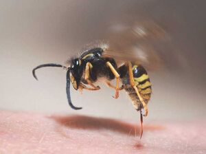 روشهای درمان خانگی گزیدگی با نیش زنبور