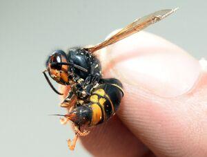 همکاری زنبورهای عسل برای باز کردن ظرف عسل+ فیلم
