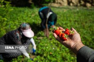 عکس/ برداشت ملکه میوهها از مزارع کردستان