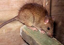 فیلم/ تلاش برای یافتن موشهای دفتر آقای شهردار!