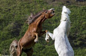عکس/ درگیری دو اسب وحشی