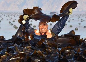 عکس/ برداشت جلبک دریایی در چین
