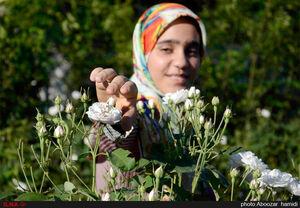 عکس/ جشنواره گلابگیری در روستای گیلده
